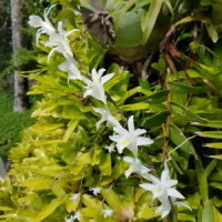 Dove Orchids flowering near the pool at Daintree Village Bed and Breakfast